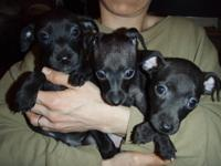 ITALIAN GREYHOUND / MIN PIN CROSS PUPPIES. BORN : JAN