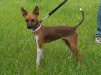 Italian Greyhound - Pending - Wriggly - Small - Baby -
