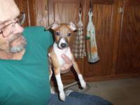 I have two Italian greyhound pups looking for their