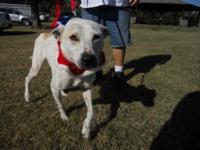 Italian Greyhound - Sparkey - Large - Adult - Male -