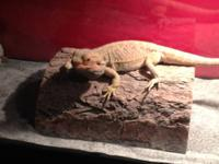 Italian Leatherback Bearded Dragon extremely dosile,