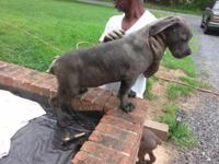 I have 2 males and 1 female Italian Mastiff puppies,
