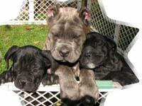 Description Massara's Cane Corso Puppies - ohio ICCF /