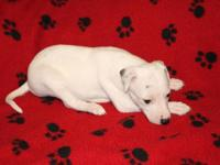 Non registerable PURE SPECIES Italian Greyhound Puppies