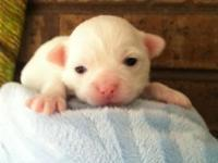 Chihuahua longcoat male puppy solid Snow White a