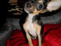 itty bitty is a very small Chihuahua & pet only home