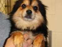 Ivan is a long-haired Pom-mix male dog, weighing 12