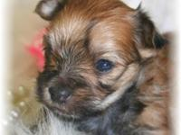 Ivie is a gorgeous Golden little Morkie Female with a