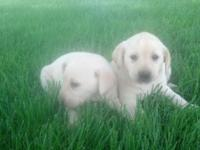 I have both male and female livory lab puppy for sale