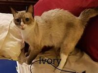 Ivory's story Felv+, will need home with no other cats
