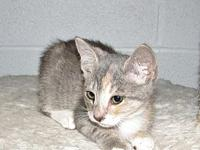 Izusa (baby girl)'s story This is Izusa a dilute calico