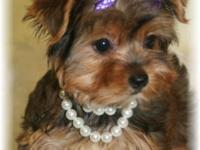Izzie is a gorgeous Golden little Morkie Female with a