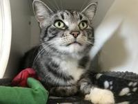 Izzy's story Breed: Domestic shorthair (silver/black)
