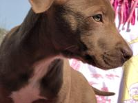 Izzy is a 10 weeks old lab mix.  She was rescued from a
