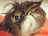 Izzy is an adorable lionhead rabbit. We don't know her