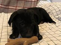 Jace's story Jace is a playful lab mix about 10 weeks