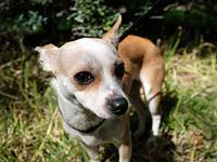 Jacie's story *Jacie is a 2 year old, 10 lb chi mix.