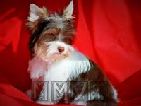 AKC Chocolate Parti Male Yorkshire Terrier. DOB: