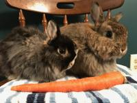 Jack and Jill are a bonded pair of lionhead rabbits.
