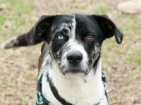 What a stud! Jack is a 1 year old Catahoula Mix ready