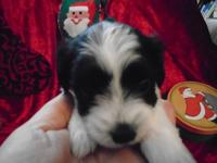Jack is a BEAUTIFUL black and white Coton de Tulear
