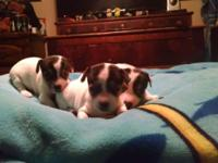 Adorable puppies 2 females and 1 male.....Will be ready