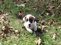 Jack Russell pups. Born August 7. 1 male 1 female.