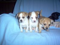 4 females, 1 male, will be 8 weeks old on Oct. 26. Will