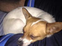 Jack Russell/chiuhua mix. He is 2 yrs old, a very good
