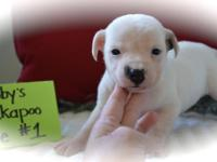 Jack Russell/Jackapoo young puppies! We have 2 adorable