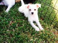 Half Maltese Half Jack Russell Puppies 2boys/ 1girl