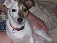 1 year old, spayed, female Jack Russell Terrier needs a