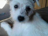 This is Scruffs! He is a 14week old 3/4 Jack Russell