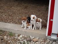 Jack Russell Terrier Purebred Puppies 8 weeks old