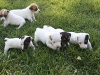 Parson Jack Russell puppies the short stocky size