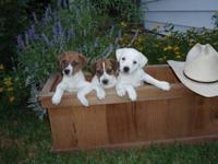 Outstanding, purebred Jack Russell Terrier male puppies