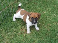 Jack Russell puppies. Short-legged smooth coat puppies.