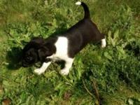 I have pure bred jack Russell puppies 2 girls left.