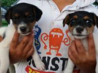 Jack Russell puppies offered. Tails docked and dew