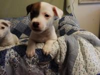 Adorable Jack Russell Puppies. Male and Female
