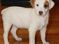 Jack Russell Terrier Purebred Puppy 9 weeks old
