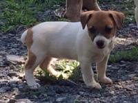 Female jack russell terrier puppy. First shots and