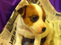 Jack Russell Purebred Pups $500-700 Tails docked and
