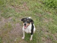 Jack Russell Terrier - 22829 - Medium - Adult - Female