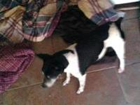 Jack Russell Terrier - 5 Owner Died - Medium - Adult -