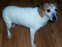 Jack Russell Terrier - Abby - Small - Adult - Female -