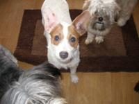 Jack Russell Terrier - Aedan - Small - Adult - Male -