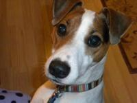 Jack Russell Terrier - Albert - Small - Adult - Male -