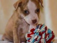 Jack Russell Terrier - Alfie The Jrt Puppy - Medium -