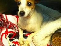 Jack Russell Terrier - Alice - Small - Adult - Female -